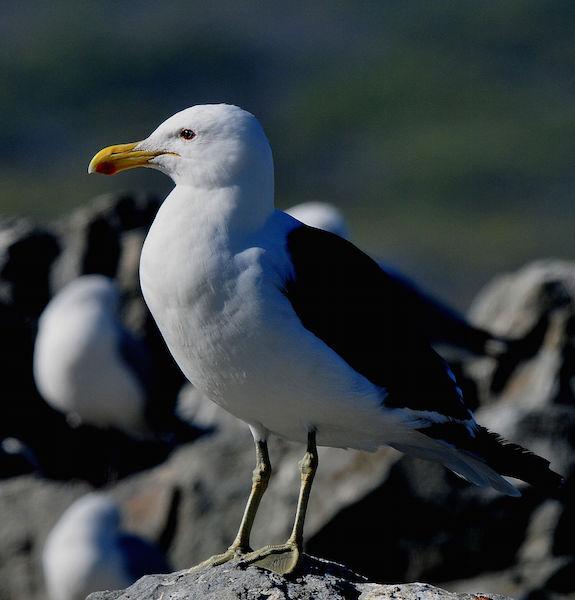 Cape Gull 2