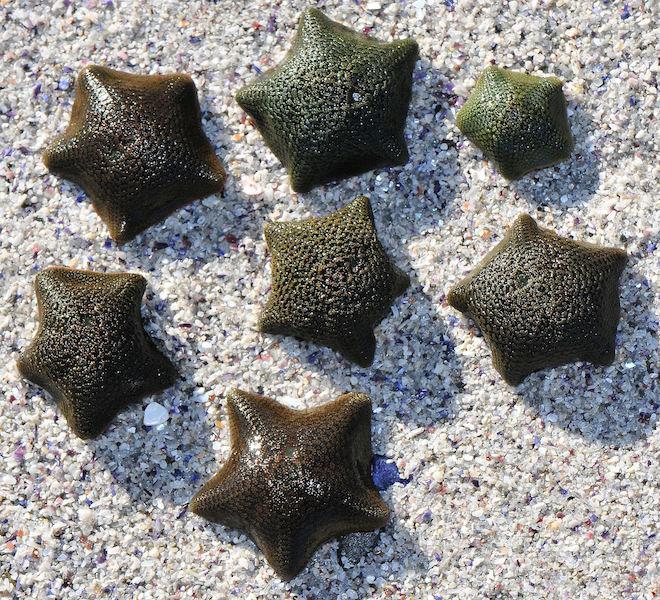 Asterina exigua (small sea star)