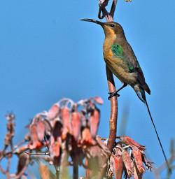 Malachite Sunbird 8