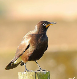 Pied Starling Mud River