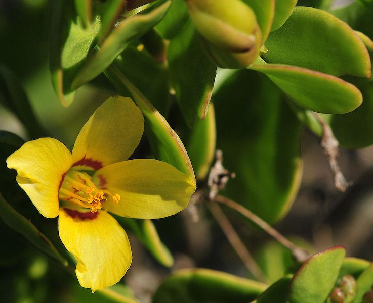 Zygophyllum morgsana
