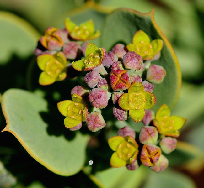 Viscum rotundifolia