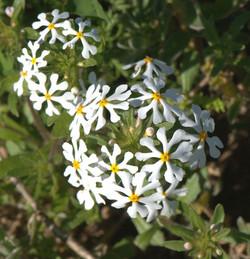 Zaluzianskya villosa 2