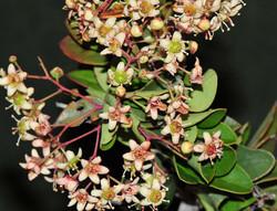 Maytenus heterophylla