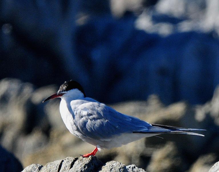 Tern species