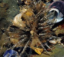 Anthopleura michaelseni (sea anemone) 3