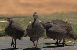 Cape Francolin Family