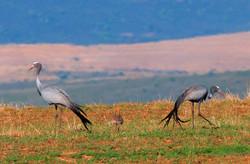 Cranes & Chicks 1