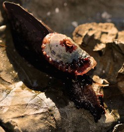 Live Amblychilepas scutella (Key Hole Limpet)