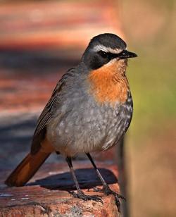 Cape Robin 2