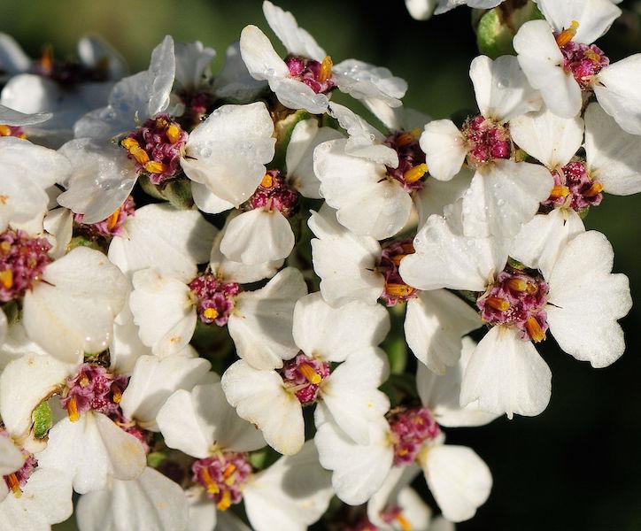 Eriocephalus africanus flower