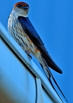Greater Striped Swallow on Gutter