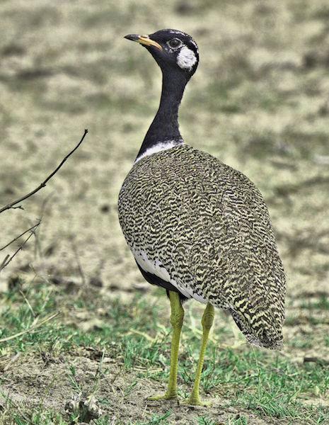 Southern Black Korhaan male