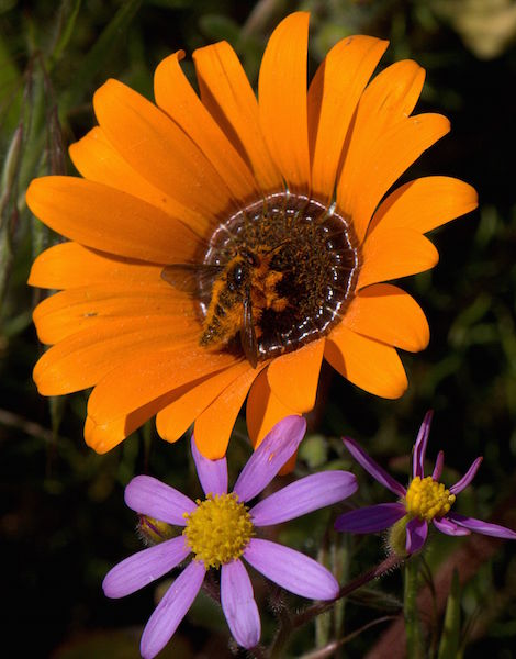 Arctotis acaulus & Insect