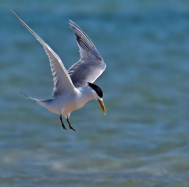 Swift Tern 2