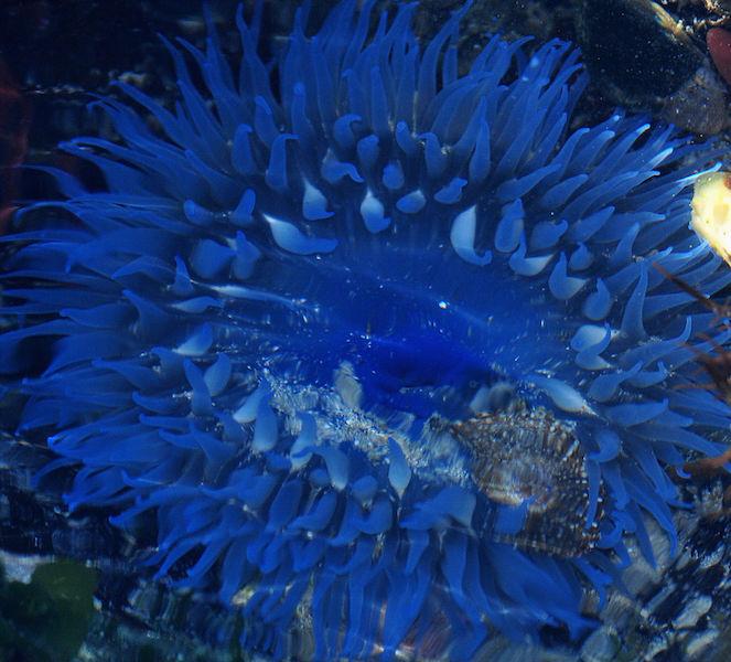 Bunodactis reynaudi in blue