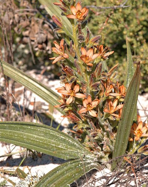 Wachendorfia parviflora 2