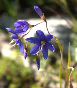 Iridaceae sp1