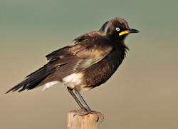 Pied Starling 2 Mud River