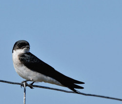 Pearlbreasted Swallow