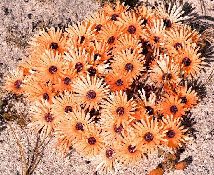 Dorotheanthus bellidiformis 2