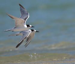 Common Tern Flying