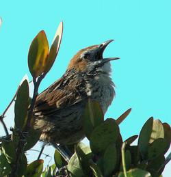 Grassbird 2