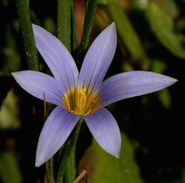 Romulea tabularis