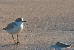 White-Fronted Plover & Stone