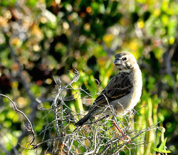 Whitethroated Canary