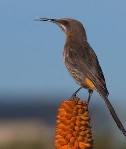 Sugarbird 2
