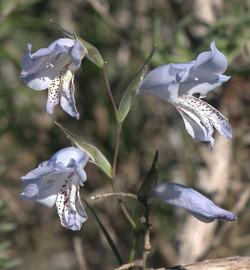 Gladiolus caelureus 2