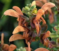 Salvia africana-lutea 2