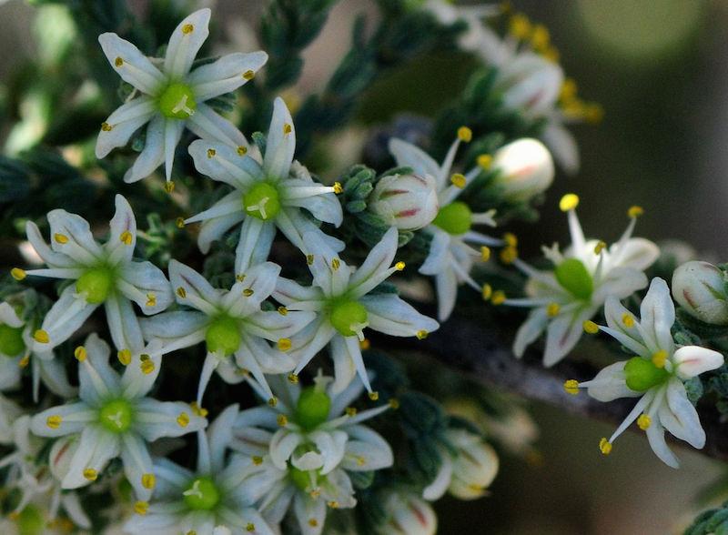 Asparagus capensis 2