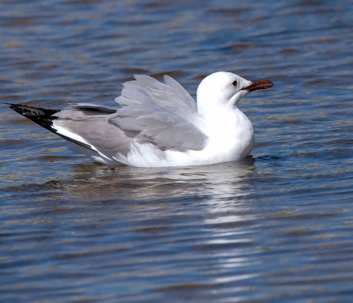 Hartlaub Gull swimming