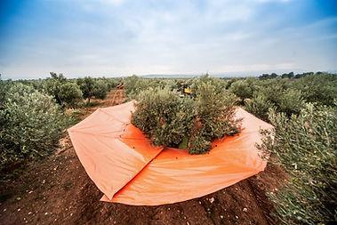 toprağa değmeden hasat.jpg
