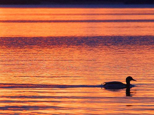 Duck on Lough Derg