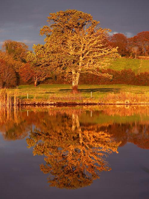 Claree Tree