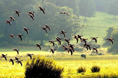 Greylag Geese -  Claree, Puckane