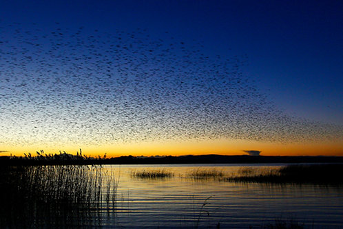 Starling Murmuration over Lough Derg