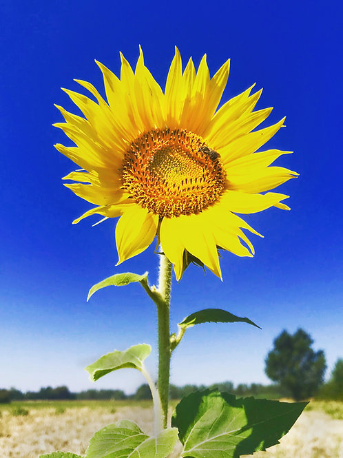 Sunflower - Carcasonne, France.
