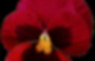red_pansy_by_jeanicebartzen27_db29ber-pr