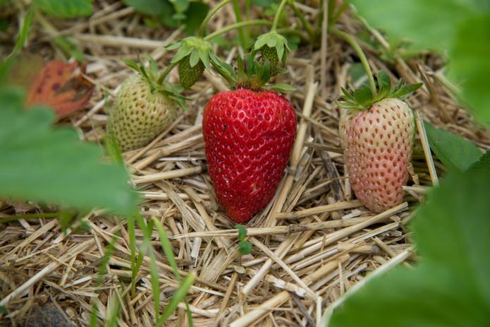 Stop 9_FJF_USDA-Garden-Strawberries_02 c