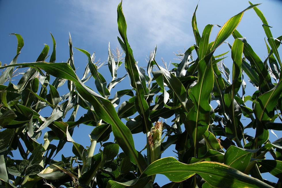 Stop 1_FJF_USDA-Garden-field corn copy.j