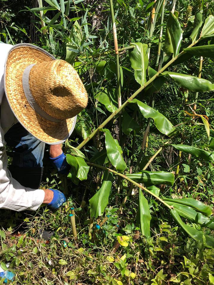 A volunteer controlling wild ginger