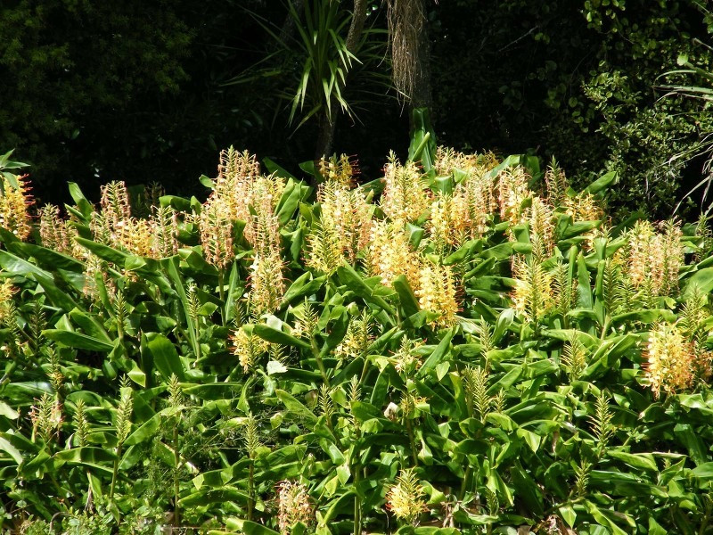 A dense stand of wild ginger in flower