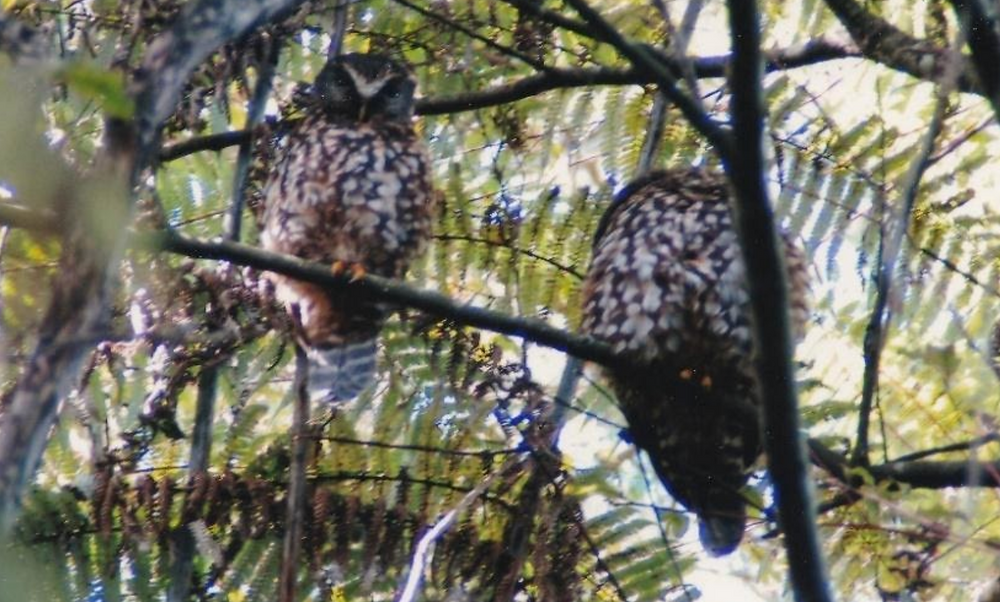 Two morepork owls up in a tree