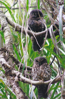 Two Moreporks in a tree, Hadfield Street, Beach Haven. Photo: S McGaffin