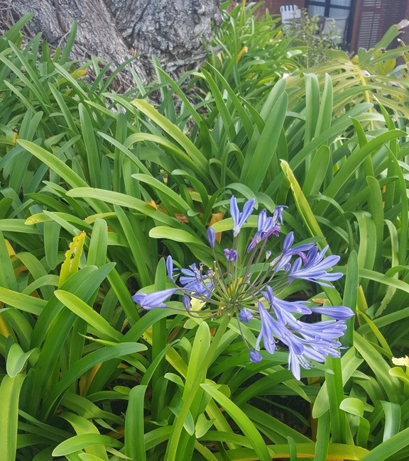 A pain in the Agapanthus