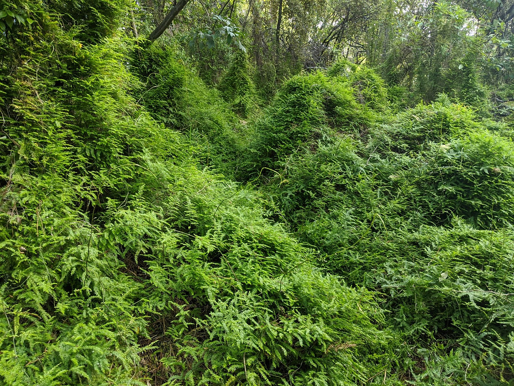 area of native bush infested with climbing asparagus